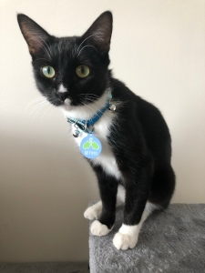 A small black and white cat sitting in front of a white wall.  She has green eyes,  a white spot above her nose and above her lip,  a white chest  and white socks. The rest of her fur is black. She is wearing a light blur collar with two silver bells. Her nametag is light blue with a pair of green mittens, and the name Mitrens in white.